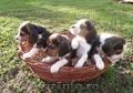 puiuti  beagle tricolori